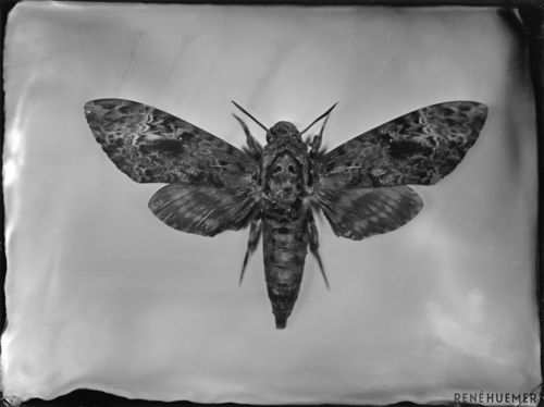 Death´s-head hawkmoth